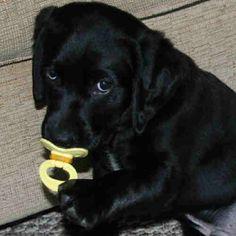 Black Dog with a Dummy