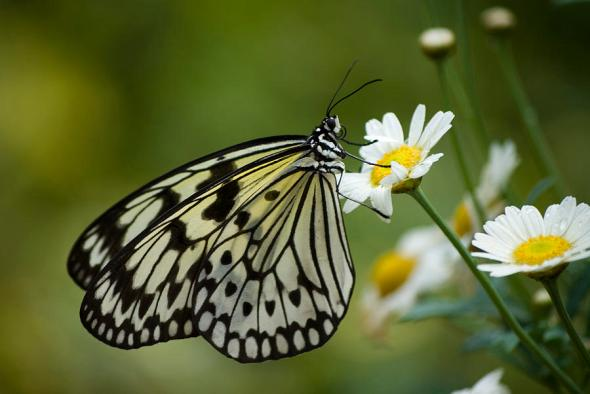 black-and-white-butterfly-on-a-daisy-pixie-copley